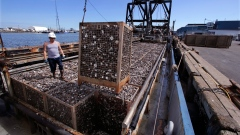 In this Thursday, May 19, 2016, photo, a basket of quahog clams are offloaded