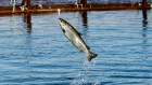 An Atlantic salmon leaps while swimming inside a farm pen near Eastport, Maine