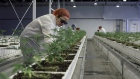 Employees tend to marijuana plants at the Aurora Cannabis Inc. facility in Edmonton, Alberta, Canada, on Tuesday, March 6, 2018.