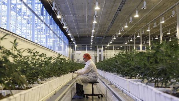 An employee tends to marijuana plants at the Aurora Cannabis Inc. facility in Edmonton, Alberta, Canada.