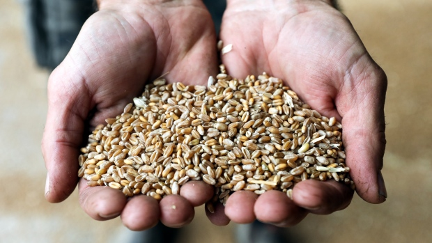 A farmer holds freshly harvested KWS Kerrin winter wheat grain in a storage shed at a farm in Royston U.K. on Tuesday