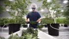 Workers produce medical marijuana at Canopy Growth Corporation's Tweed facility in Smiths Falls, Ont