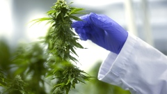 A worker inspects cannabis plants