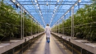 A worker walks past rows of cannabis plants growing in a greenhouse at the Hexo Corp. facility in Gatineau, Quebec, Canada.
