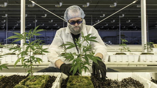 An employee tends to marijuana plants at the Aurora Cannabis Inc. facility in Edmonton, Canada.
