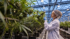 A worker inspects cannabis plants growing in a greenhouse at the Hexo Corp. facility in Gatineau, Quebec, Canada, on Thursday, Oct. 11, 2018. Canada's drive to legalize marijuana kicks off early Wednesday with store openings on the Atlantic Coast, giving the country a massive head start in developing a global pot market that some analysts peg at $150 billion.