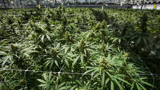 Canada 'blew' its chance to be the world's pot leader: Infor