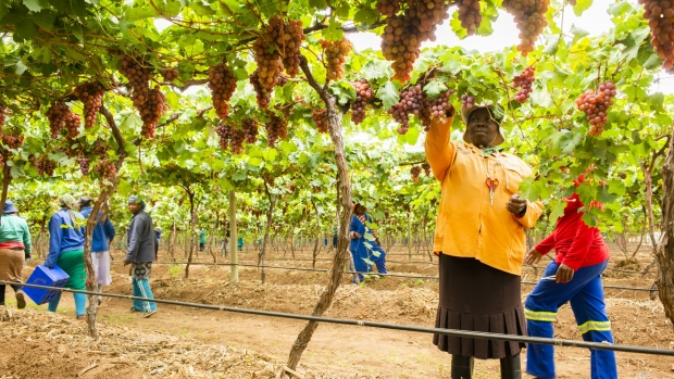 "Workers prune red grape vines at the GS Schoonbee Landgoed Ltd. citrus farm in Groblersdal, South Africa, on Tuesday, Nov. 27, 2018. South Africa's Citrus Growers Association said exports to the European Union rose ""about 10%"" on 2017."