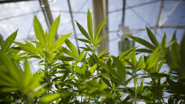Cannabis plants grow in a greenhouse at the CannTrust Holdings Inc. Niagara Perpetual Harvest facility in Pelham, Ontario, Canada.