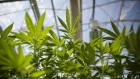Cannabis plants grow in a greenhouse at the CannTrust Holdings Inc. Niagara Perpetual Harvest facility in Pelham, Ontario, Canada, on Wednesday, July 11, 2018. Canadian pot stocks have had a wild ride in the past year with the BI Canada Cannabis Competitive Peers Index surging about 250 percent from October to December as the road to legalization became clearer in Canada, before dropping by about 36 percent this year.