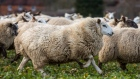 Sheep graze in a field on Alan Hutton's farm near Basingstoke, U.K., on Monday, Feb. 11, 2019. The U.K. is the world's third-largest lamb exporter and farmers will have a lot to sell if there's no European trade deal.