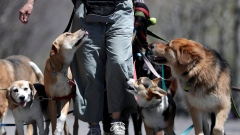 A dog walker strolls with a pack of dogs during a warm day along the Hudson River.