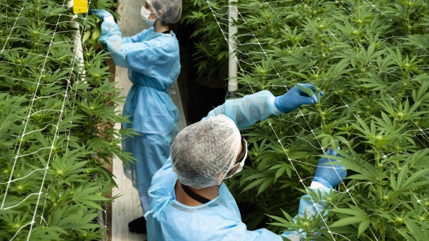 Workers trim cannabis plants inside a Fotmer SA greenhouse in Nueva Helvecia, Uruguay.