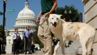"WASHINGTON - SEPTEMBER 25: Five-year-old Arctic Gray Wolf Atka leaves with Maggie Howell, Managing Director of Wolf Conservation Center, after a news conference to introduce the ""Protect America's Wildlife (PAW) Act"" on Capitol Hill September 25, 2007 in Washington, DC. The bill was introduced to stop aerial hunting of wolves from aircrafts in Alaska. (Photo by Alex Wong/Getty Images)"