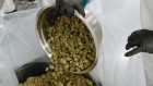 A worker pours a bowl of manicured buds into a bag in Fenwick, Ontario, Canada.