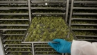 An employee pulls out a tray of drying cannabis buds at the CannTrust Holdings Inc. Niagara Perpetual Harvest facility in Pelham, Ontario, Canada, on Wednesday, July 11, 2018.