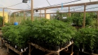 "Potted cannabis plants sit on tables at a farm in Kingston, Jamaica, on Thursday, Dec. 13, 2018. Canadian cannabis producer Aphria Inc. says that a Jamaica marijuana farm is now part of its growing portfolio of international assets, though U.S. short sellers say the company overpaid for ""worthless"" operations."