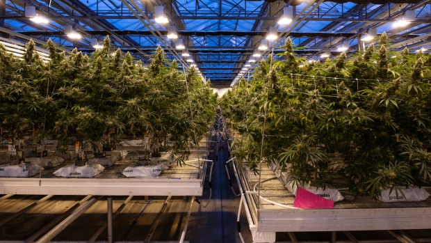 Cannabis plants grow at the canntrust holdings inc production facility in fenwick ontario canada
