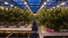 Cannabis plants grow at the CannTrust Holdings Inc. production facility in Fenwick, Ontario, Canada.