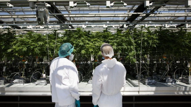 Employees inspect cannabis plants at the canntrust holdings inc niagara perpetual harvest facility in pelham ontario canada on wednesday july 11 2018