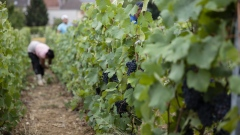 Workers pick Pinot Meunier grapes during the harvest on the Taittinger SA vineyard at Chateau de la Marquetterie in Pierry, France, on Aug. 30, 2018. Taittinger, a family-owned Champagne producer founded in the aftermath of the First World War, has been riding a wave of export-led growth and taking advantage of an opportunity to expand the range of its wine production in California's Napa Valley and in Kent, southeast of London.