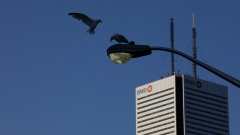 A bird flies near the Bank of Montreal tower in Toronto, Ontario, Aug. 4, 2019. Bloomberg/Brent Lewi