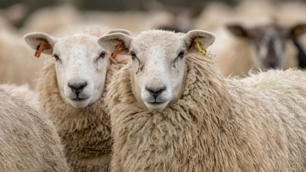 U K  Sheep Farmer Wins Restraining Order Against Vegan
