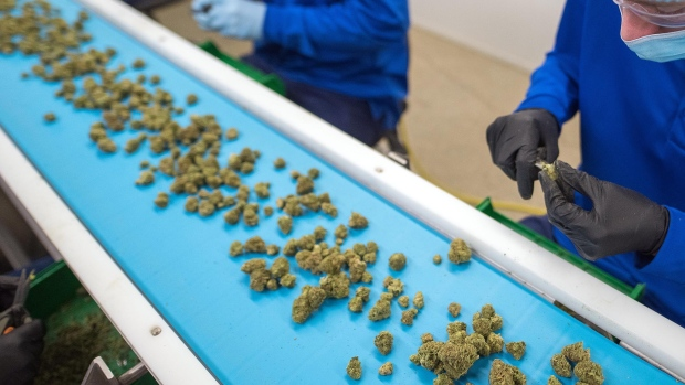 Employees process harvested marijuana