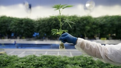 A man holds a young cannabis plant seedling inside a growing facility. Bloomberg/Cole Burston