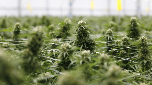Cannabis plants grow at a WeedMD Inc. facility in Strathroy, Ontario, Canada, on Wednesday, July 17, 2019.