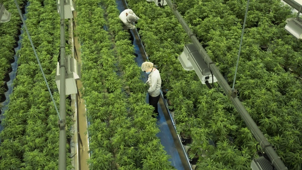 Staff work in a marijuana grow room tat Canopy Growth's Tweed facility in Smiths Falls, Ont. on Aug.