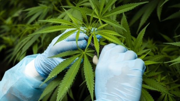 A worker trims cannabis plants inside a fotmer sa greenhouse in nueva helvecia uruguay on tuesday feb 26 2019 in 2013 uruguay became the first nation to legalize recreational marijuana and now companies are looking outside their local market to turn the nation into a global medical marijuana leader