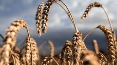 Wheat kernels hang from plants before a harvest at a farm near Cambridge, U.K., on Monday, Aug. 14, 2017. Premiums for bread milling wheat jumped 74 percent last week to the year's high, AHDB figures compiled by Bloomberg show.