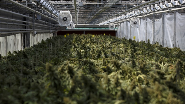 Cannabis plants grow in a greenhouse