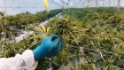 A worker holds a cannabis plant at a WeedMD Inc. growing facility in Strathroy, Ontario