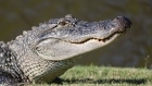 An alligator is seen in Avondale, Louisiana.