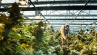 The cannabis industry in Lesotho is taking off after it became the first country in Africa to legalise the industry for medicinal use. Medigrow, a big cannabis farm located in central Lesotho on Friday, November 15 2019. Pic: Waldo Swiegers / Bloomberg at the Medigrow growing facility in central Lesotho, on Friday, Nov. 15, 2019. XXX Photographer: Waldo Swiegers/Bloomberg