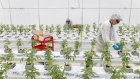 A worker places predatory mite sachets on cannabis plants at a WeedMD Inc. growing facility in Strathroy, Ontario, Canada, on Wednesday, July 17, 2019. WeedMD is one of 13 Canadian pot companies that have been granted outdoor cultivation licenses in an industry that predominantly grows in greenhouses or warehouses. Photographer: Cole Burston/Bloomberg