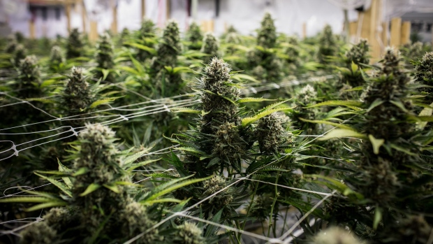 Cannabis plants grow at a craft grow operation outside of nelson british columbia photographer ben nelms bloomberg