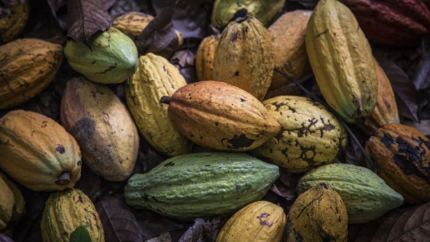 Cocoa fruit sit on the ground during harvesting on a cocoa plantation in Agboville, Ivory Coast.