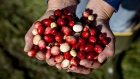Cranberries are displayed for a photograph during harvest in Camp Douglas, Wisconsin, U.S., on Wednesday, Oct. 18, 2017. The 2017 harvest is expected to reach 5.6 million barrels, more than half of all the cranberries harvested in the U.S., which is expected to be about 9 million barrels, according to the Wisconsin State Cranberry Growers Association. Photographer: Daniel Acker/Bloomberg
