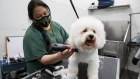 A groomer gives a haircut to a dog in Toronto