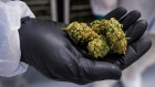A handful of cannabis bud is shown in Fenwick, Ont., on Tuesday, June 26, 2018. The Canadian Press