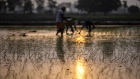 Farmhands sow rice saplings at a flooded paddy field in Karnal district, Haryana, India on Friday, June 26, 2020. From March through May, around 10 million migrant workers fled India's megacities, afraid to be unemployed, hungry and far from family during the world's biggest anti-Covid lockdown. Migrant workers aren't expected to return to the cities as long as the virus is spreading and work is uncertain.