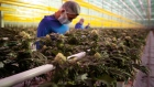 Workers wearing protective masks inspect cannabis plants inside the grow room at the Aphria Inc. Diamond facility in Leamington, Ontario, Canada, on Wednesday, Jan. 13, 2021. Tilray Inc. and Aphria Inc. agreed to combine their operations, forming a new giant in the fast-growing cannabis industry. Photographer: Annie Sakkab/Bloomberg