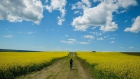 A cyclist passes between two canola fields near Cremona, Alta.