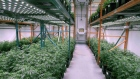 Marijuana plants at OrganiGram in Moncton, N.B.