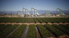 Oil pump jacks are seen next to a strawberry field in Oxnard, California February 24, 2015.