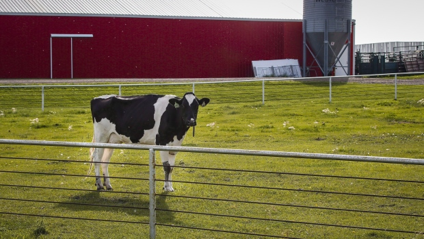 A Holstein cow stands in a pasture at a dairy farm near Calgary August 31, 2016.