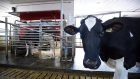A dairy cow waits in line to be milked at a farm in Eastern Ontario